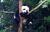 101.7.7成都大熊貓繁育研究基地:DPP熊貓12.JPG