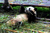 101.7.7成都大熊貓繁育研究基地:DPP熊貓19.JPG