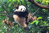 101.7.7成都大熊貓繁育研究基地:DPP熊貓07.JPG