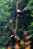 101.7.7成都大熊貓繁育研究基地:DPP熊貓13.JPG