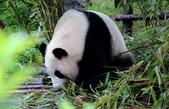 101.7.7成都大熊貓繁育研究基地:DPP熊貓08.JPG
