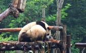 101.7.7成都大熊貓繁育研究基地:DPP熊貓20.JPG