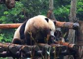 101.7.7成都大熊貓繁育研究基地:DPP熊貓21.JPG
