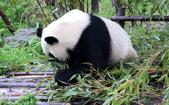 101.7.7成都大熊貓繁育研究基地:DPP熊貓09.JPG