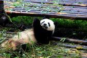 101.7.7成都大熊貓繁育研究基地:DPP熊貓15.JPG