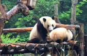 101.7.7成都大熊貓繁育研究基地:DPP熊貓22.JPG
