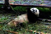 101.7.7成都大熊貓繁育研究基地:DPP熊貓17.JPG