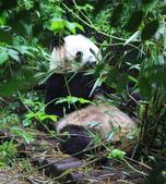 101.7.7成都大熊貓繁育研究基地:DPP熊貓11.JPG