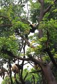 101.7.7成都大熊貓繁育研究基地:DPP熊貓05.JPG
