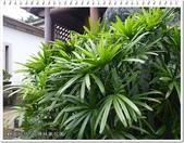 植物-旅人蕉科。棕櫚科:棕櫚科-觀音棕竹