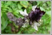 植物-唇形科:唇形科-羅勒04