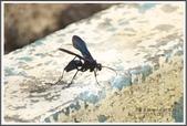 昆蟲:_MG_8665.JPG