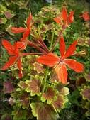 植物-牻牛兒苗科:牻牛兒苗科 -楓葉天竺葵