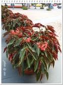 植物-秋海棠科:秋海棠科-大紅秋海棠06