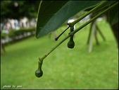植物-樟科:樟科-陰香(二)26