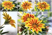 Ann的小花園:勳章菊20150113~0129.jpg