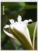 植物-梧桐科:槭葉翅子樹14