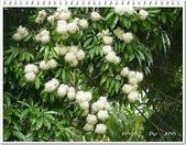 植物-梧桐科:梧桐科-台灣梭羅木01