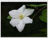 植物-毛茛科:毛茛科-鐵線蓮26