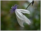 植物-毛茛科:毛茛科-屏東鐵線蓮01