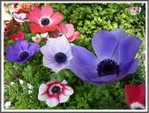 植物-毛茛科:毛茛科~白頭翁