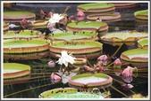 植物-睡蓮科:睡蓮科~克魯茲王蓮(大王蓮)20