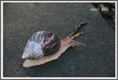 (yahoo)蝸牛:非洲大蝸牛