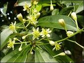植物-樟科:樟科-陰香(二)18