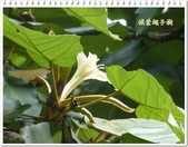 植物-梧桐科:槭葉翅子樹15