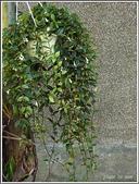 植物-苦苣苔科:苦苣苔科-玉唇花