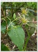 植物-毛茛科:毛茛科-鐵線蓮10