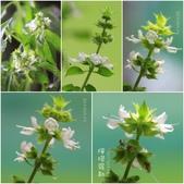 Ann的小花園:檸檬羅勒20150407~0518.jpg