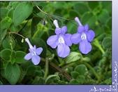 植物-苦苣苔科:苦苣苔科-海豚花