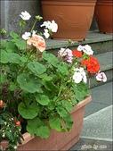 植物-牻牛兒苗科:牻牛兒苗科 -天竺葵