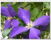 植物-毛茛科:毛茛科-鐵線蓮11