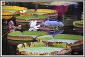 植物-睡蓮科:睡蓮科~克魯茲王蓮(大王蓮)18