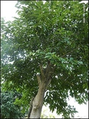 植物-樟科:樟科-陰香(二)12
