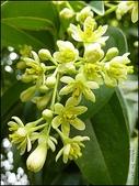 植物-樟科:樟科-陰香(二)17