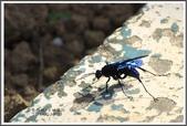 昆蟲:_MG_8671.JPG