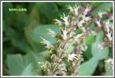 植物-唇形科:唇形科-美羅勒07