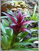 植物-鳳梨科:鳳梨科-紫擎天鳳梨