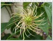 植物-毛茛科:毛茛科-鐵線蓮09