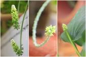 Ann的小花園:闊葉油點百合20150420~0507.jpg