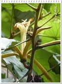 植物-梧桐科:槭葉翅子樹21