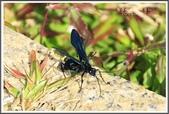 昆蟲:_MG_8695.JPG