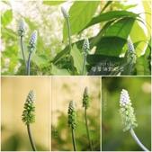 Ann的小花園:闊葉油點百合20150407~0414.jpg