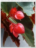植物-秋海棠科:秋海棠科-大紅秋海棠02