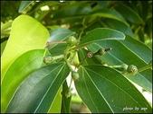 植物-樟科:樟科-陰香(二)28