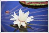 植物-睡蓮科:睡蓮科~克魯茲王蓮(大王蓮)05