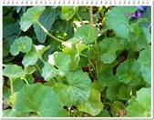 植物-堇菜科:堇菜科-腎葉堇